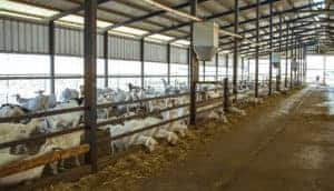 Metal building for livestock